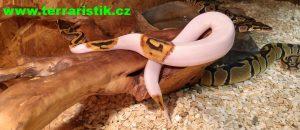 pythonregius-cover
